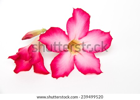 Pink desert rose blooming isolated on white background - stock photo