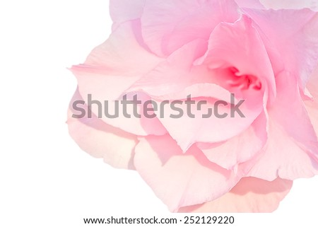 Pink desert rose or Impala lily