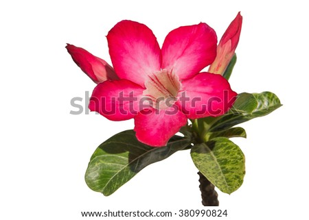Pink Desert Rose or Impala Lily flower - stock photo
