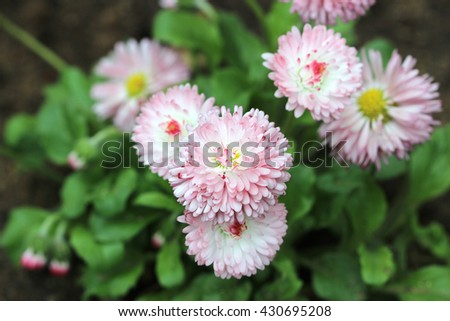 pink dog daisies Bellis perennis are blooming on the flowerbed - stock photo