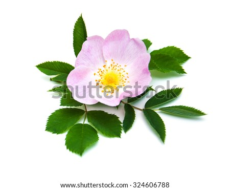 Pink Dog rose on a white  background - stock photo