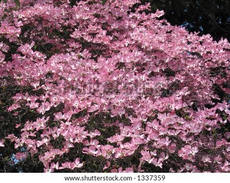 Pink Dogwood Tree - stock photo