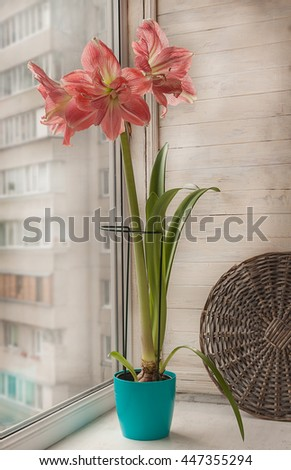 Pink double Hippeastrum   in a blue pot on the window - stock photo