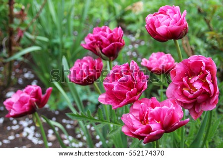 Pink double tulips in the spring garden.