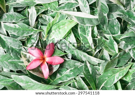 pink drenched frangipani or Plumeria on green leaves - stock photo