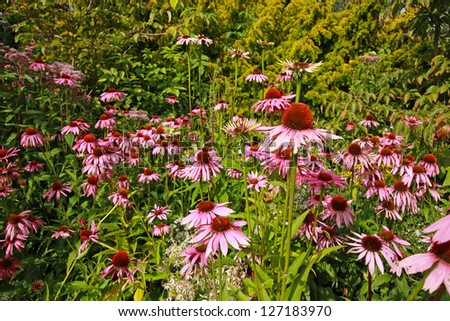 Pink echinacea flowers in the garden - stock photo