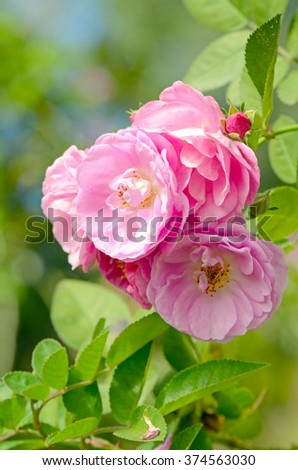 Pink English Roses on Blurred Rose Garden Background. - stock photo