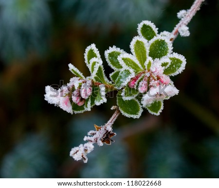 Pink Escallonia buds and flowers covered in winter frost - stock photo