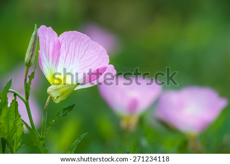 Pink Evening Primrose (oenothera speciosa) wildflowers blooming on spring meadow, closeup. Natural green background with copy space. - stock photo