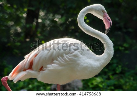 Pink flamingo live in lake and have green background - stock photo