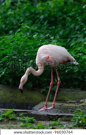 Pink flamingo next to pool - stock photo