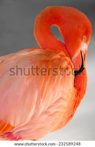 Pink Flamingo on a Grey Background - stock photo
