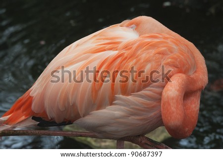 Pink Flamingo - Phoenicopterus ruber in a Greenhouse - stock photo