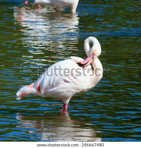 Pink Flamingo, wading in the water, square cropped image. - stock photo
