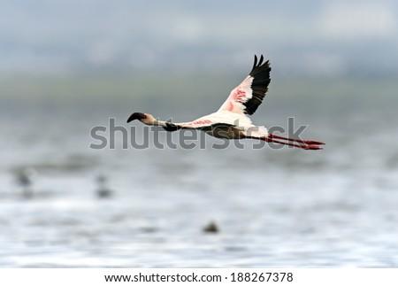 Pink Flamingos at Lake Nakuru in their natural habitat . Kenya . - stock photo