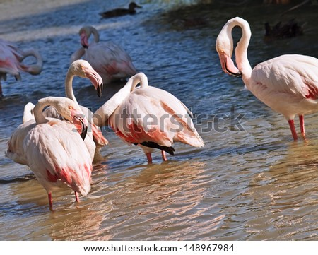 Pink flamingos standing in pond in the Camargue, France.   - stock photo