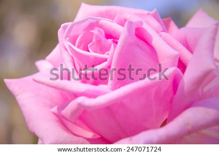 pink flora rose flower background , closeup pink rose - stock photo