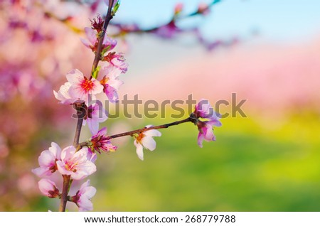 Pink flower blossom brunch isolated on spring soft background. - stock photo