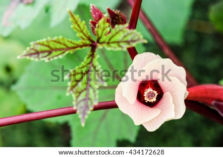 Pink flower blossom on tree of Jamaica Sorrel or Hibiscus sabdariffa in Thailand