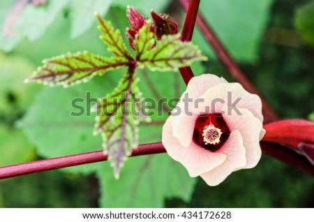 Pink flower blossom on tree of Jamaica Sorrel or Hibiscus sabdariffa in Thailand - stock photo