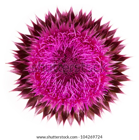 Pink flower close-up isolated on a white background - stock photo