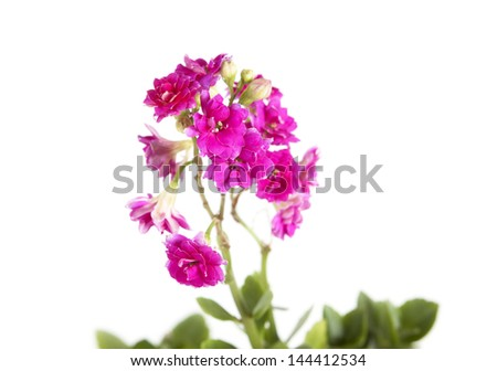 pink flower close-up isolated on white background