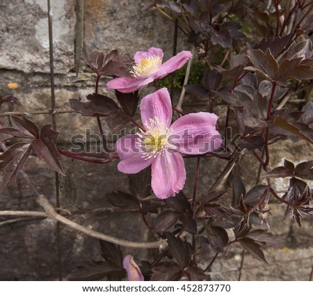 Pink Flower Head of a Clematis Montana in a Country Cottage Garden in Somerset, England, UK - stock photo