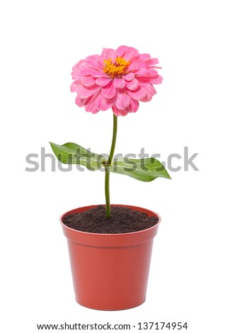 pink flower in a pot isolated on white - stock photo