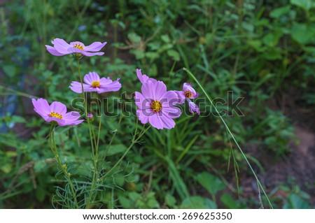 pink flower in green field fully grown - stock photo