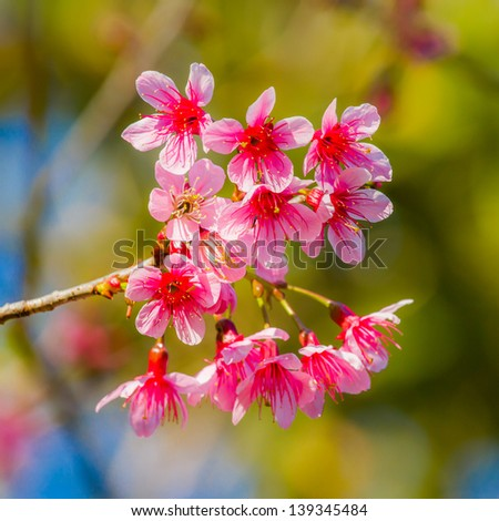 pink flower in the forest. Wild Himalayan Cherry in northern of thailand. Phra Ya Sue Kronge