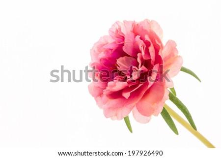 Pink flower isolate white ground,Common Purslane, portulaca flowers, Verdolaga, Pigweed  - stock photo