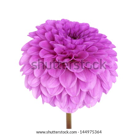 Pink flower isolated on white background - stock photo