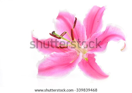 Pink flower lily  - stock photo