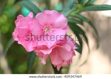 Pink flower name oleander scientific name stock photo royalty free pink flower name oleander the scientific name is nerium oleander l mightylinksfo