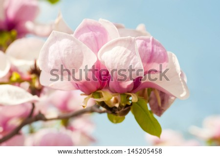 Pink flower of a magnolia in a spring garden