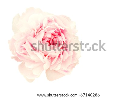 Pink flower of a terry peony. On a white background - stock photo