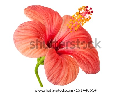 Pink flower of Hibiscus. Isolated on a white.