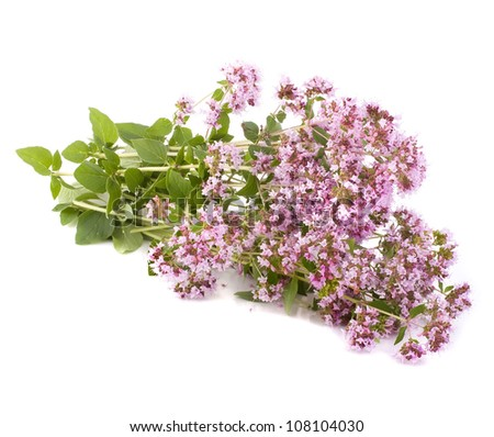 Pink flower of origanum vulgare isolated on white - stock photo