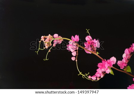 Pink flower on a black background. (Coral Vine, Mexican Creeper, Chain of Love)