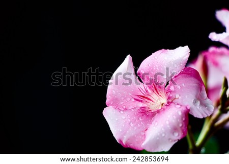 Pink Flower on Black Background. Selective focus. Copy space. - stock photo
