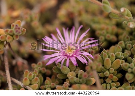 Pink flower on Ice plant succulent, Carpobrotus edulis, creeping ground cover on beach sand in the spring in Southern California with the ocean in the background - stock photo
