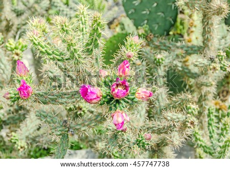 Pink flower Opuntia humifusa, the devils tongue, eastern prickly pear or Indian fig. Cactus flowers, close up. - stock photo