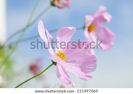 pink flower under blue sky,yunnan china