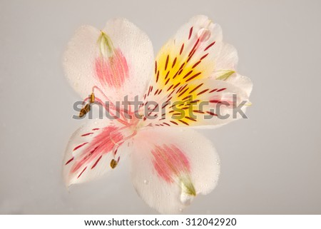 pink flower with drops on a grey background