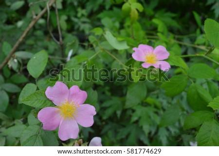 Pink flower yellow center on green stock photo royalty free pink flower with yellow center on green bush mightylinksfo