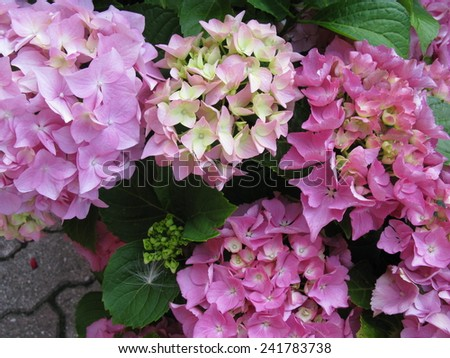 Pink flowering hortensia (hydrangea paniculata) flowers  - stock photo