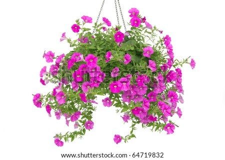 Pink flowering petunia in pot isolated on white background. - stock photo