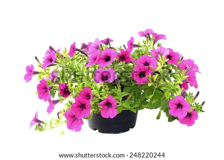 Pink flowering petunia in pot on white background. - stock photo