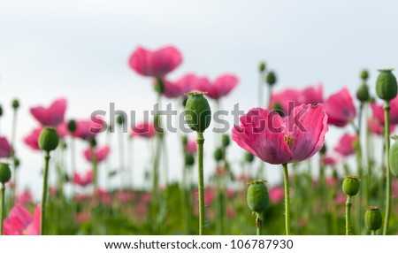 Pink flowering poppies and a blurred natural background. - stock photo
