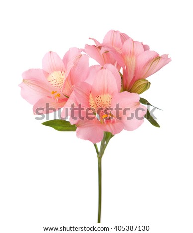 Pink flowers (Alstroemeria) isolated on white. - stock photo